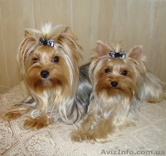 logo Yorkshire Terrier